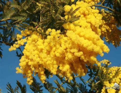 d hiver en pot mimosa dealbata mimosa d hiver pot de 3 litres plant de plus de 2 ans jardibonsai jardin 174