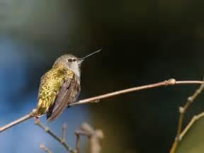 bird feeding hummingbirds pacific nw birder