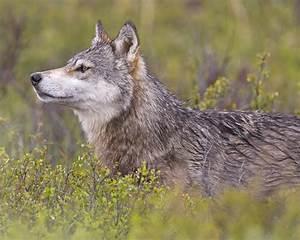 File:Wolf Profile (5300989495).jpg - Wikimedia Commons