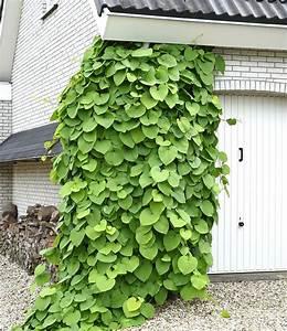 Kletterpflanzen Mehrjährig Winterhart : pfeifenwinde kletterpflanzen bei baldur garten ~ Michelbontemps.com Haus und Dekorationen