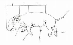 Fetal Pig Labeled Male
