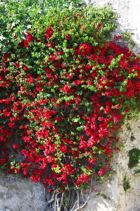 Red Flowers On Climbing Plant Stock Image  Image Of