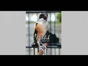 Suara Burung Cendet Riddick via blog Om Kicau