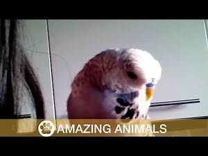Budgie Sounds Like R2-D2! May The 4th Be With You!