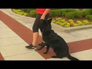 """Super GSD Female """"Ono"""" 2 Yr Obedience Protection Trained Home Raised Dog For Sale"""