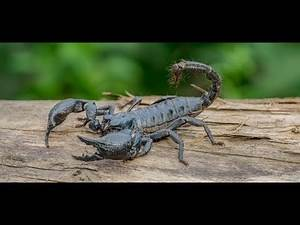 Indian Black Scorpion Attack By Bawali BaBa