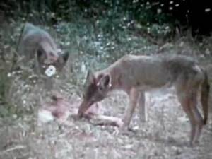 Coyotes Vs Wolverine