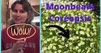 How to Dividing Transplanting Perennial Flower Moonbeam Coreopsis Tickseed