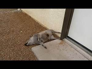 GRAPHIC!!! Javelina died right next to my house, now what do I do? 09222019