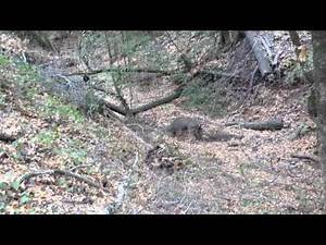 Prequel to the kill... Mountain Lion attacks Deer