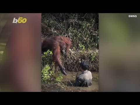 Rare Photo Shows Orangutan Offering a Helping Hand To a Man In River Clearing Away Snakes!