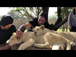 Superstars roam with lions in Johannesburg, South Africa