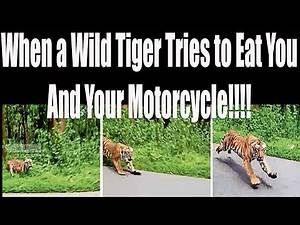 Biker News~When a Tiger Chases Your Motorcycle