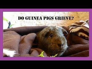 Guinea Pigs and the Loss of a Cage Mate: Grieving and Bereavement