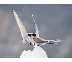 Arctic tern diet Video