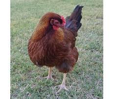 Best yard chickens Video