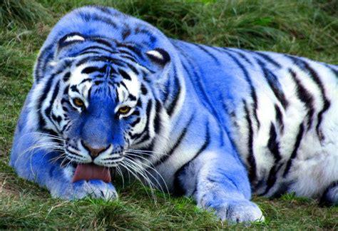 Big Blue Tiger