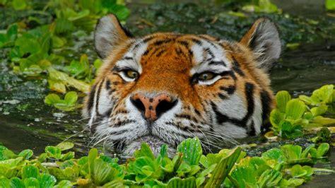 Bing Tiger