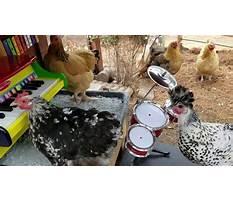 Chicken yard band Video