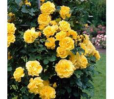 Climbing shrubs with yellow flowers Video