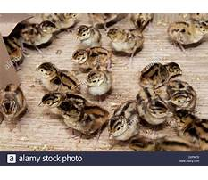 Day old pheasant chicks Video
