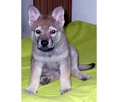 Dog training in czech Video