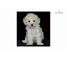 Dog training toy poodle.aspx Video