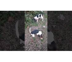 How to train a rabbit like a dog.aspx Video