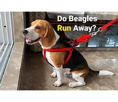 How to train your beagle not to run away Video