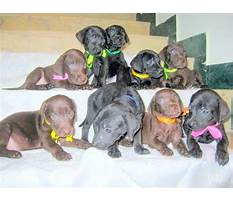 How to train your labrador puppy in hindi.aspx Video