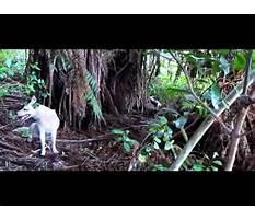 Joshua kauta pig dog training.aspx Video
