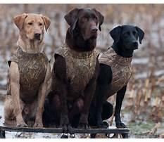 Labrador retriever hunting training videos Video