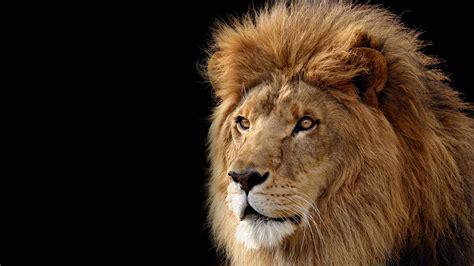 Lion Desktop Backgrounds