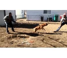 Malinois attack dog training.aspx Video
