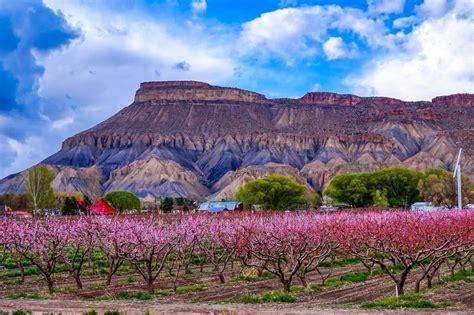 Palisade Colorado Peach Tree
