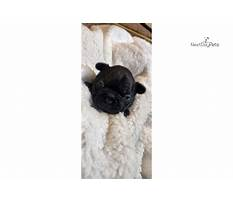 Potty trained bulldog puppies for sale.aspx Video