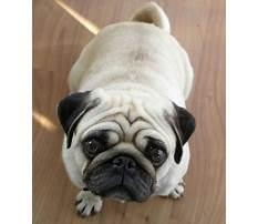 Pug dog training videos Video