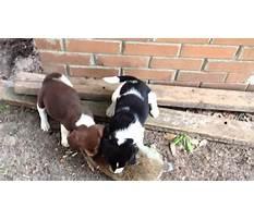 Rabbit breeds for training beagles.aspx Video