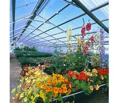 Roses in a greenhouse Video