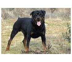 Rottweiler dog fighting and training videos.aspx Video