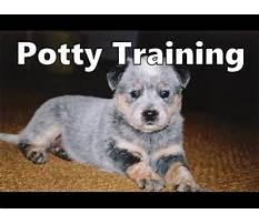 Train cattle dog puppy Video