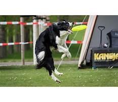 Train dog catch frisbee Video