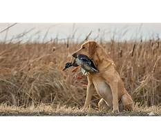 Train dog duck hunting Video