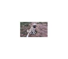 Training livestock guardian dogs.aspx Video